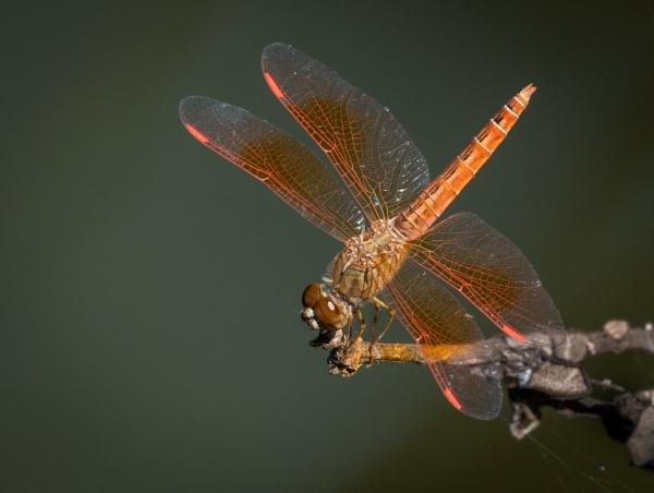 Ditch Jewel (Brachythemis contaminata) by jasonrwl