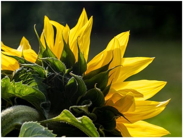 Sunflower from Rear by mac