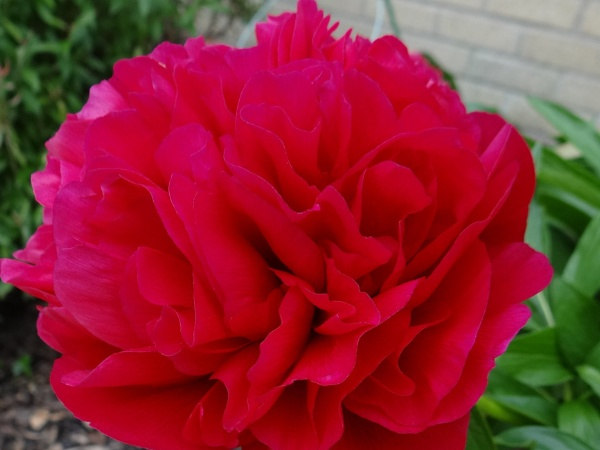 Simply Red by carol01