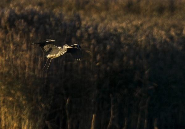 Grey heron in Espoo by hannukon