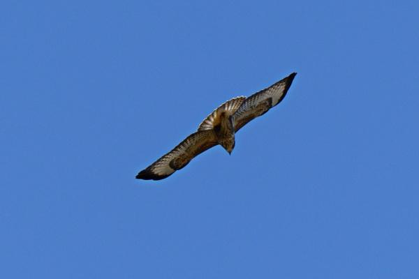 Buzzard overhead. by simmo73