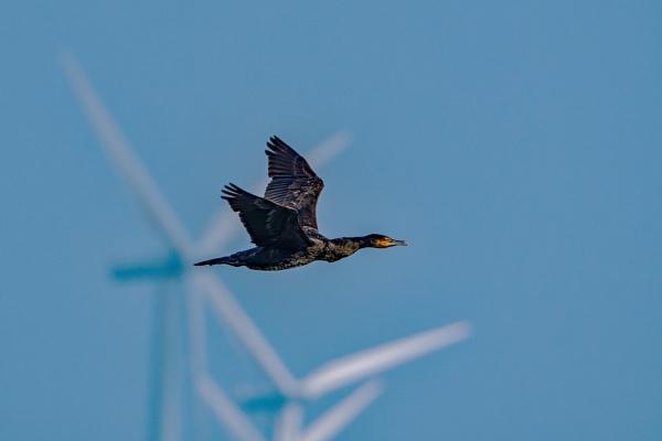 Cormorant flypast. by terra