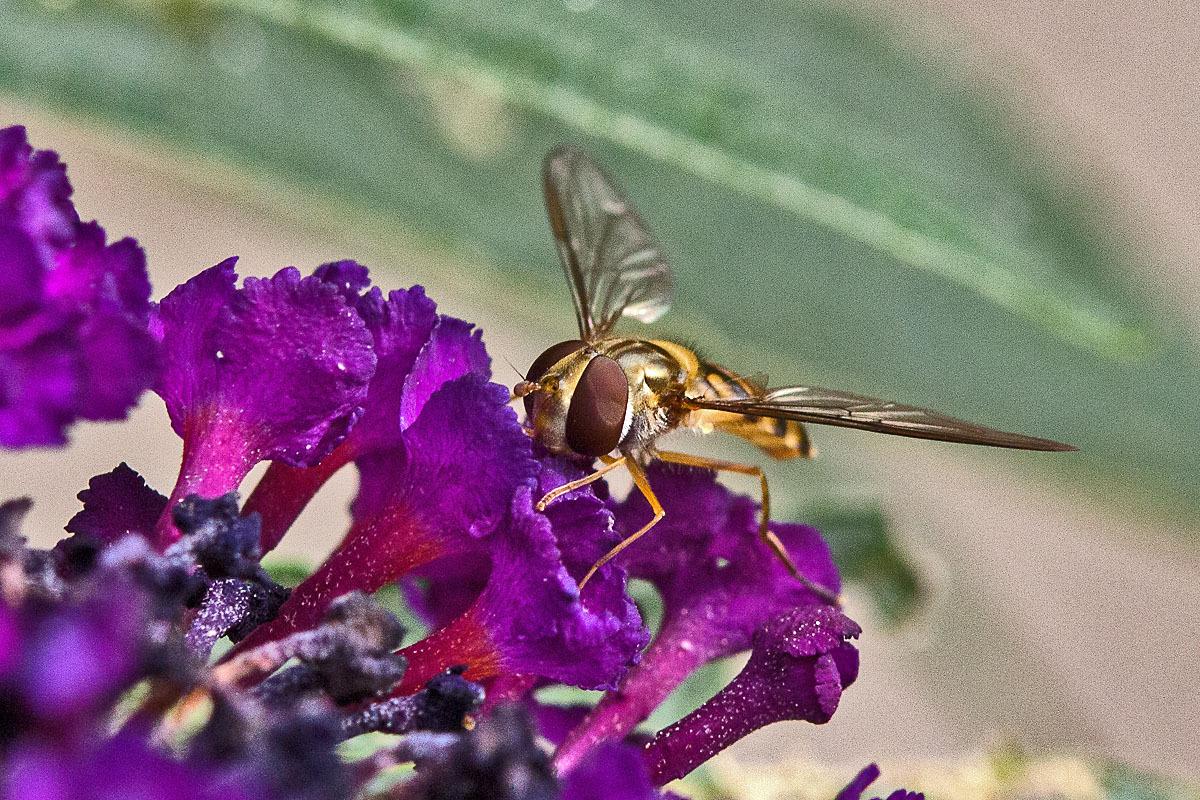 A Hoverfly on Buddleia