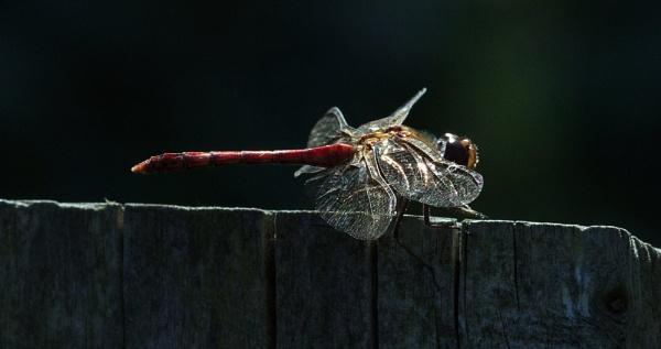 Common darter by oldgreyheron