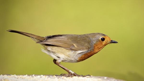 Robin by Granddad