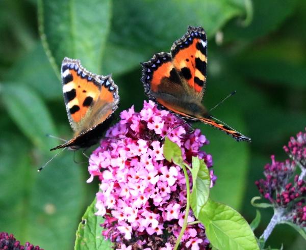 tortoiseshell butterfly by janetj