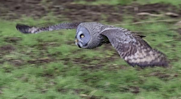 Grey Owl in Flight by ugly