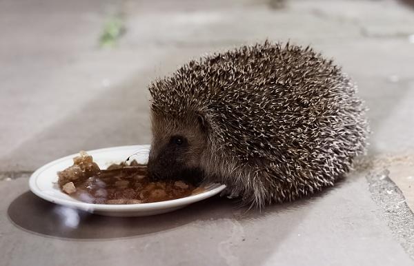 Hedgehog Eating by ugly