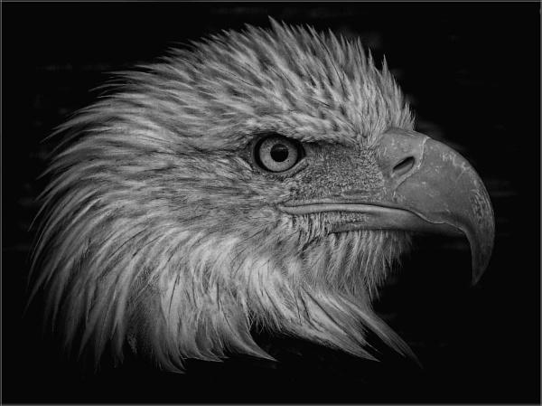 Bald Eagle (10) by PhilT2