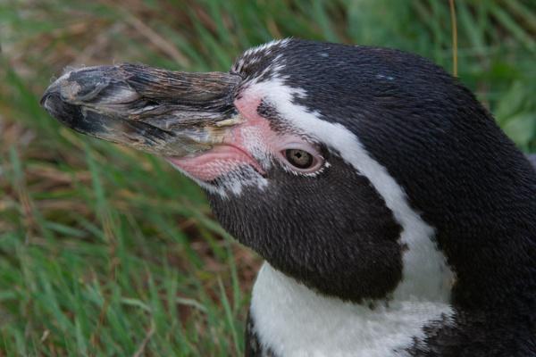 Penguin Portrait by Alan_Baseley