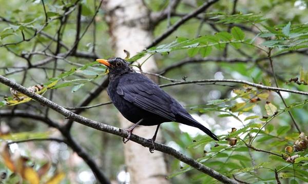Blackbird by JanOByrne