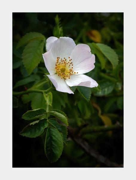 Wild Rose by DicksPics