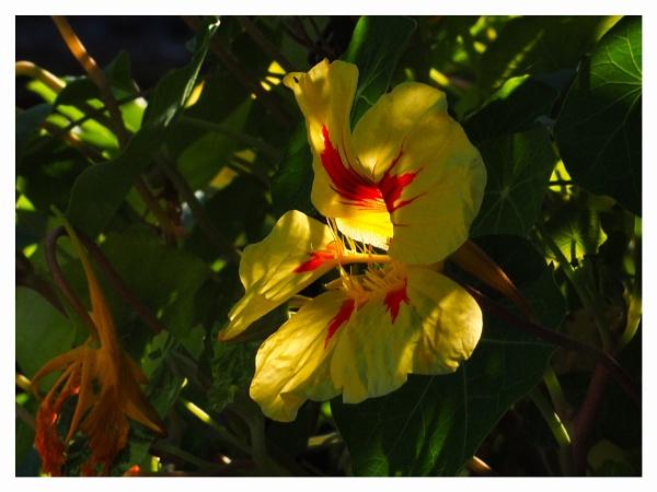 NASTURTIUM FLOWER. by kojack