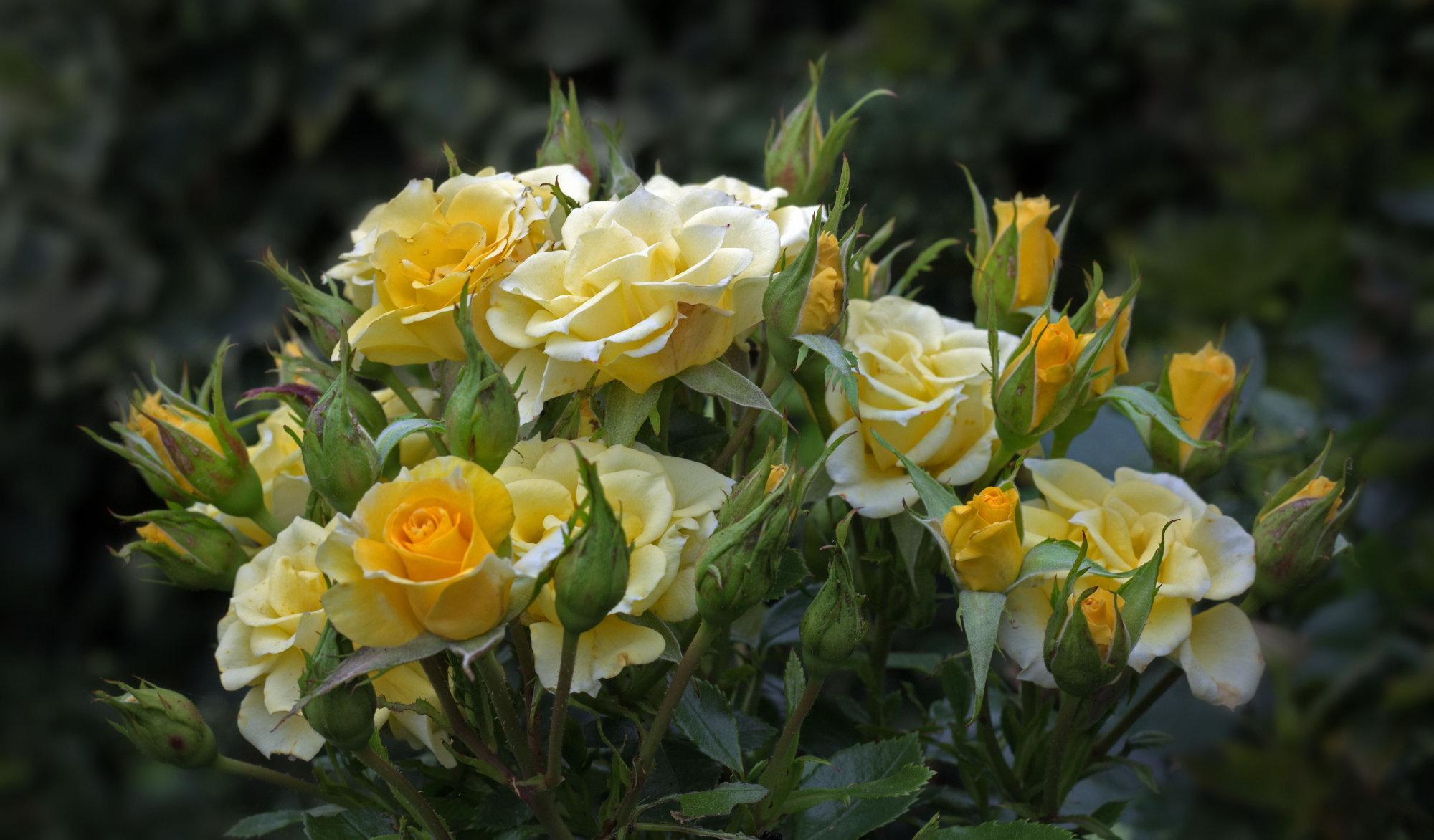 My roses.