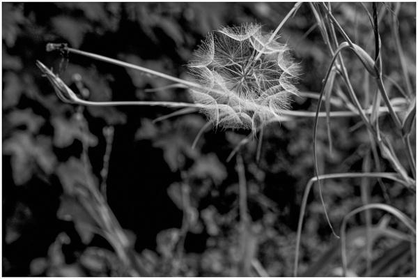 The Priory -  Dandelion seeds by Nikonuser1