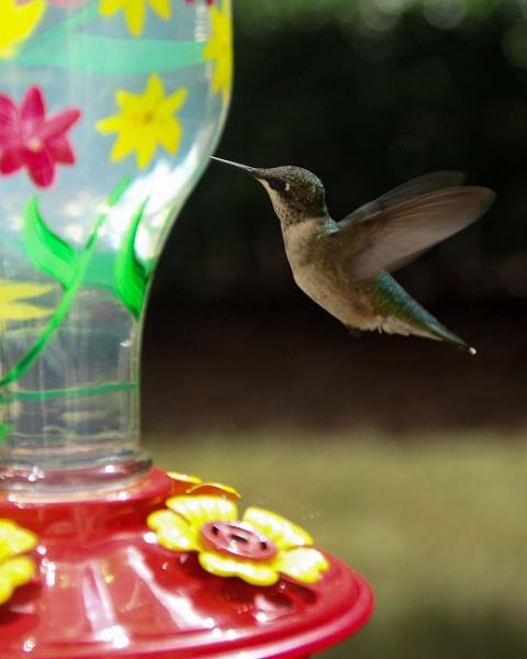 Hummingbird Feedig by pilotpaul