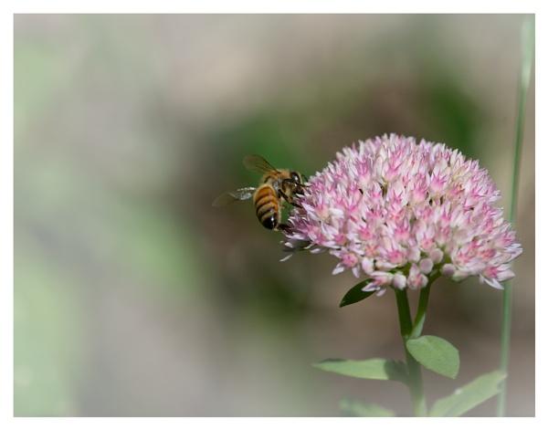 Honey Bee on Sedum by taggart