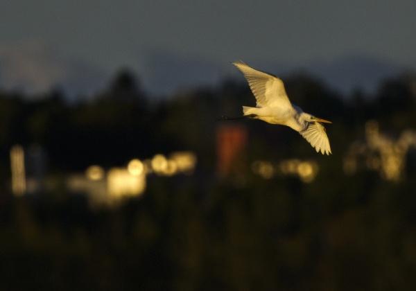 Great egret in Laajalahti by hannukon