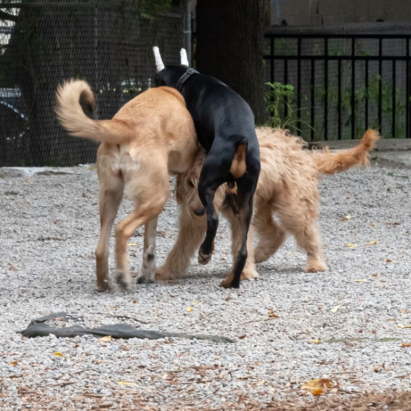Sexually Immature Dogs Have a Go at It by BobbyMS