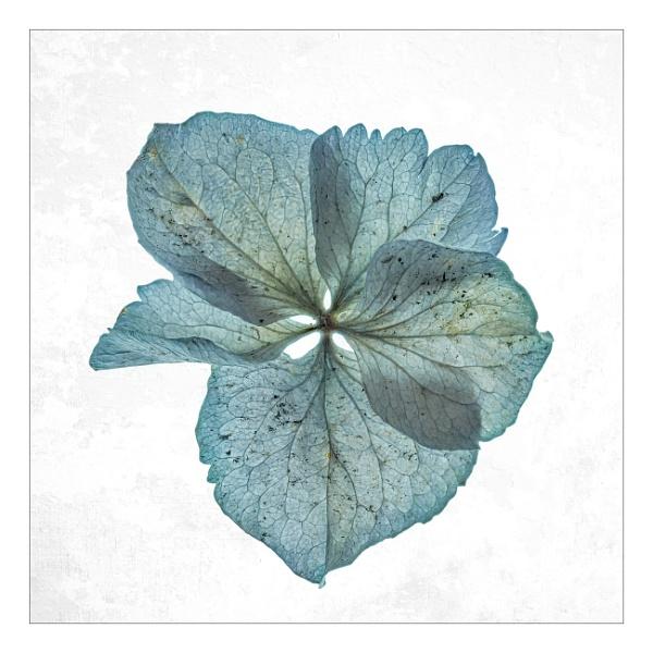 Hydranger flower by suemart