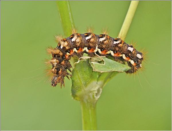 Knot Grass caterpillar. by bricurtis