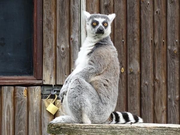 Lemur at Howletts by Leon88