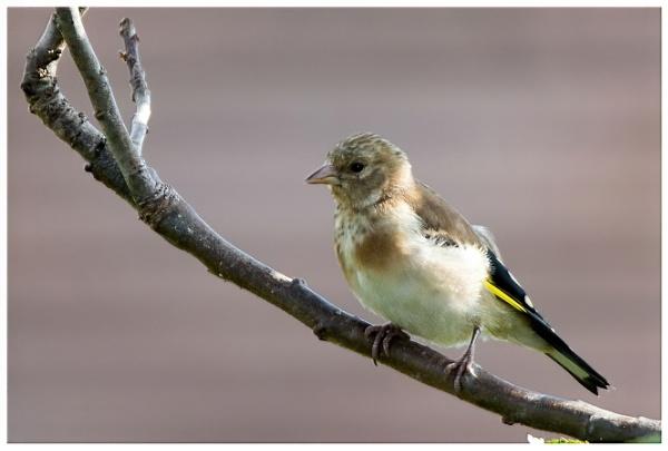 Juvenile Goldfinch by davidgibson