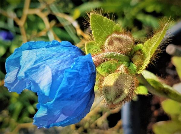 Blue Poppy. by rosej