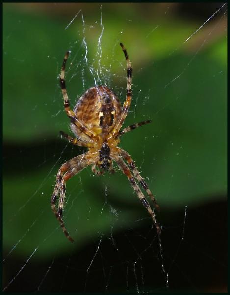 Garden Spider - Araneus diadematus :- by Badgerfred
