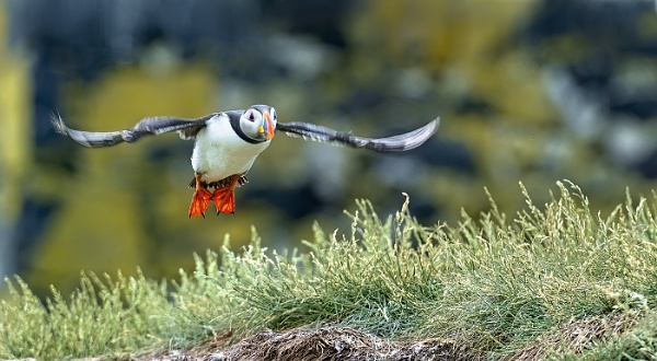 Puffin in flight by ugly