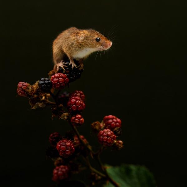 Harvest Mouse by FOXTROTT1