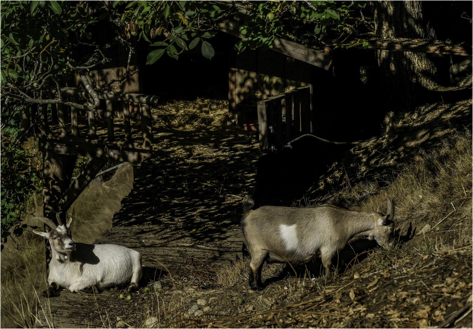 Chubby Goats