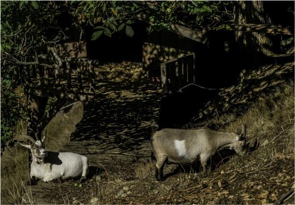 Chubby Goats by Daisymaye