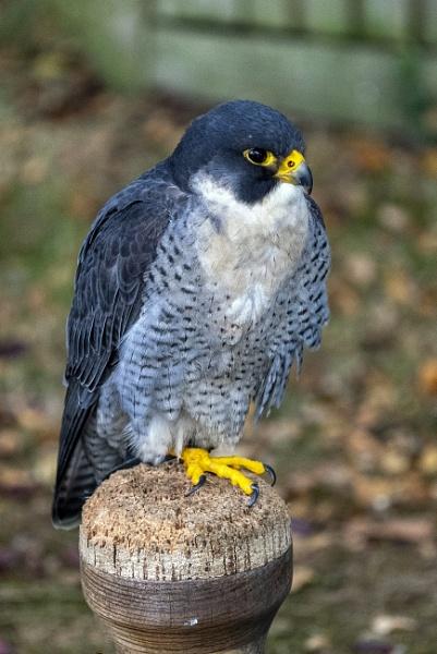 The peregrine falcon (Falco peregrinus), by AlanWillis