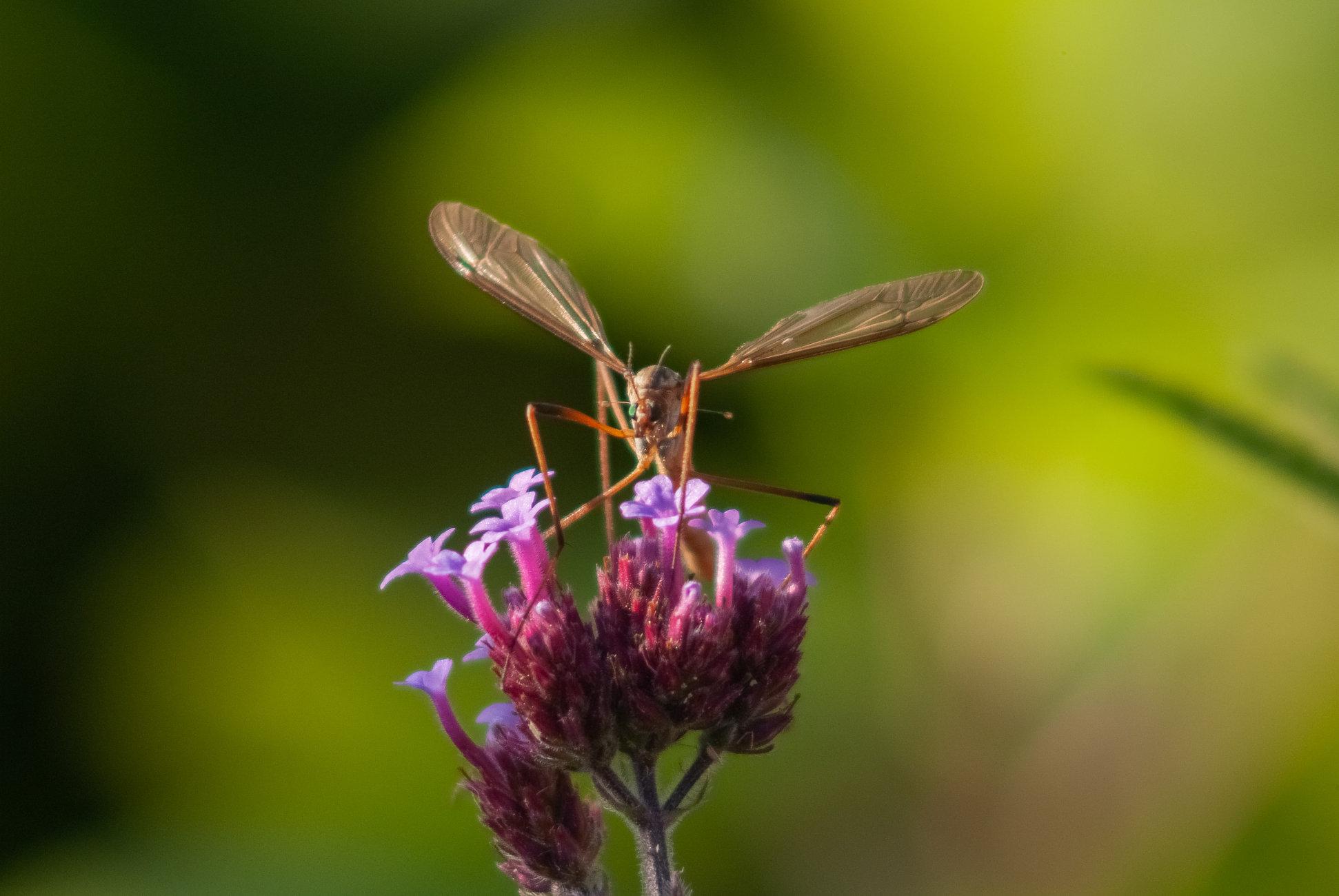 A Cranefly - Daddy Long Legs
