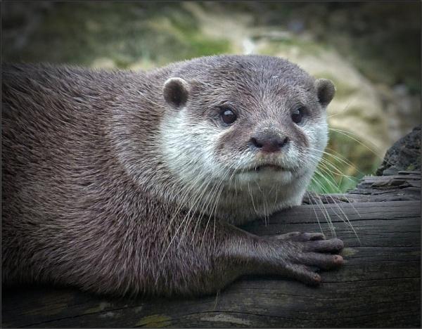 Otter portrait (5) by PhilT2