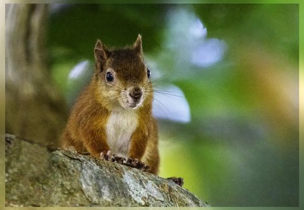 Red Squirrel by sdixon2380
