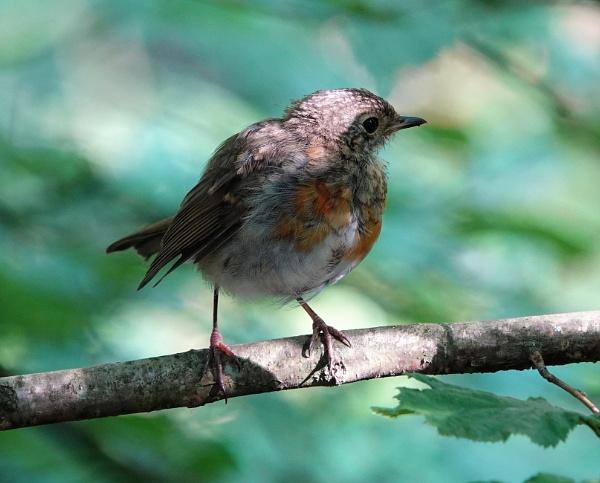 Shady Robin by JanOByrne