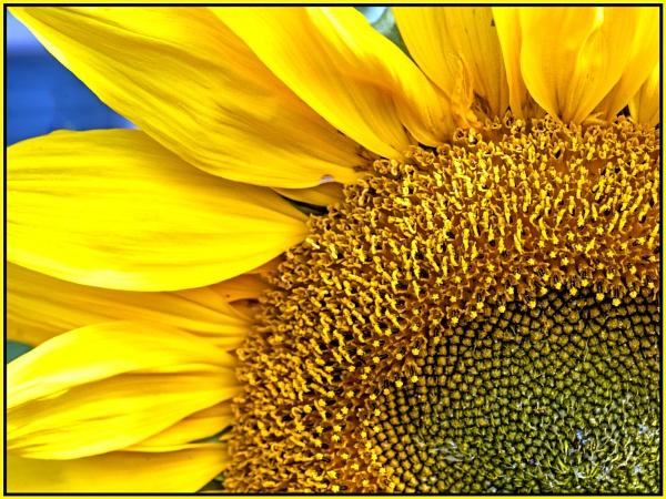 Sunflower Detail by mac