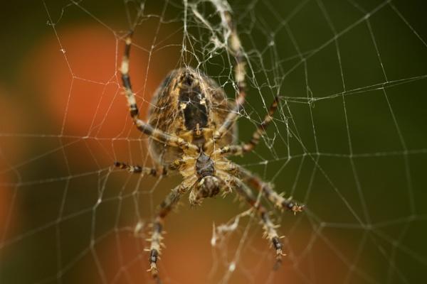 spider in web by robthecamman