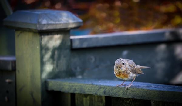 Robin by Jukka