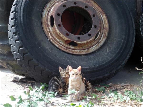 big black tire...tiny kittens! by laura1