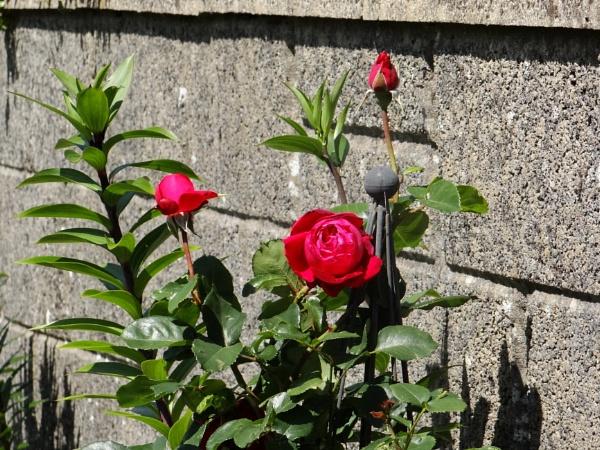 Last Rose of Summer by carol01