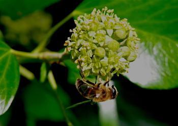 Ivy flowers invader...