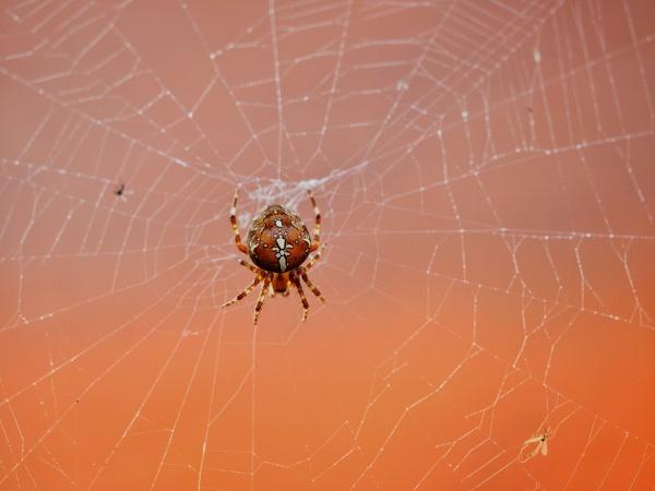 Spider by victorburnside
