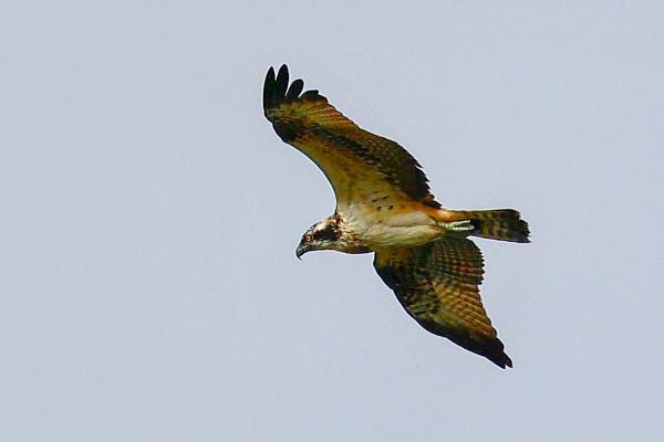 Osprey by Lencollard