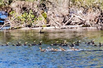 High Speed Ducks