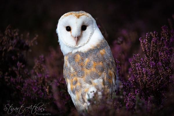 Barn Owl amongst the heather by StuartAt