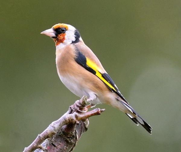 Goldfinch 6 by robertsnikon