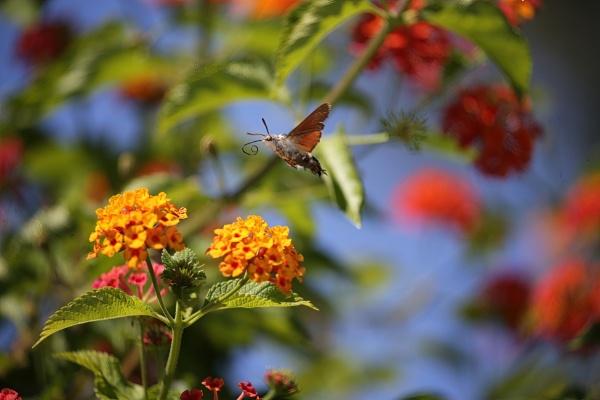 Hummingbird Moth by Jw3